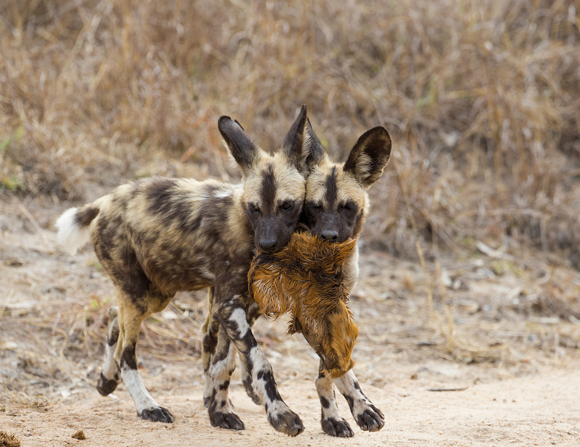 0001 Painted Dog