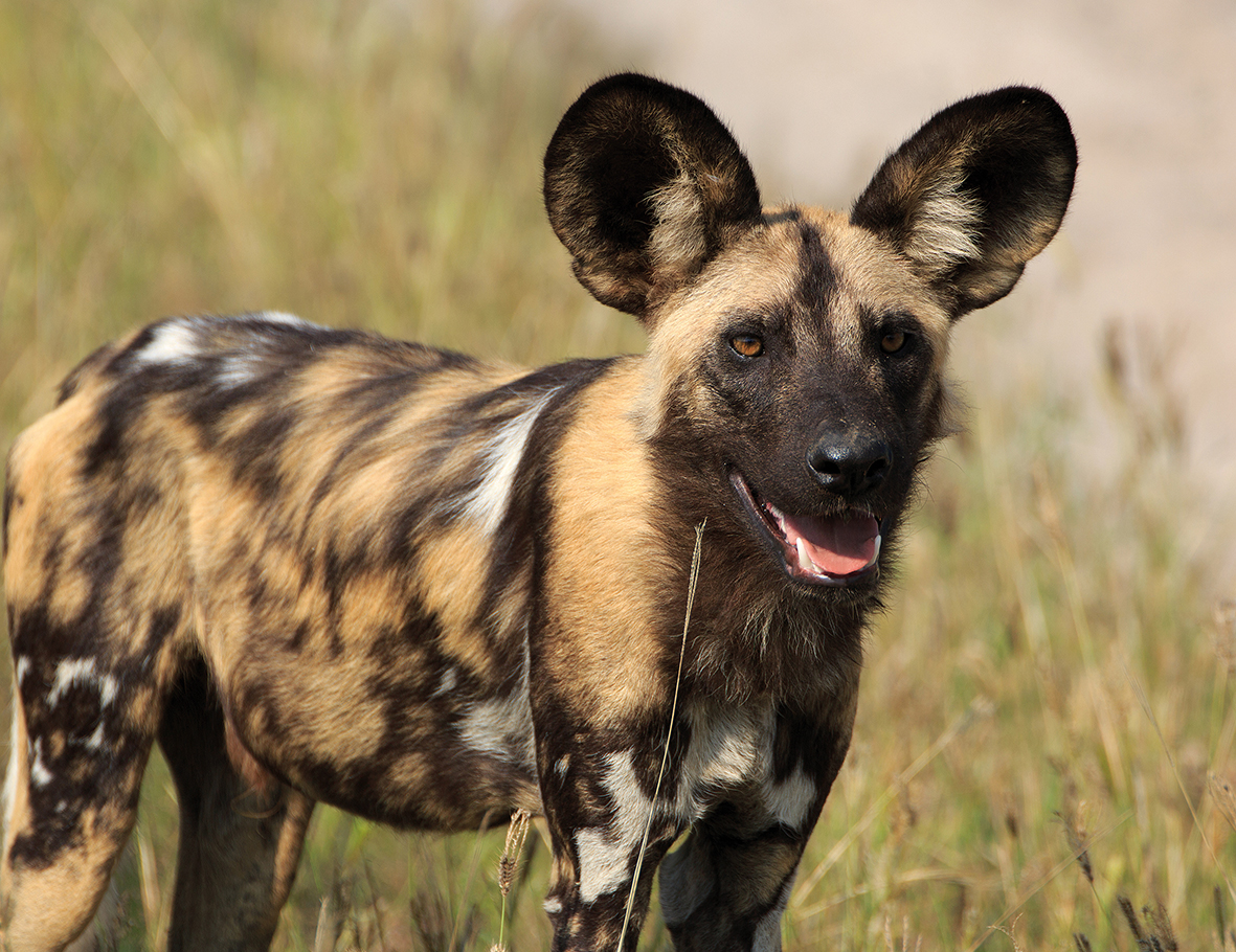 0002 Painted Dog
